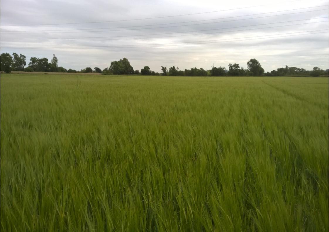 Ryetec Maag no till drill, planet spring barley drilled 26.4.16